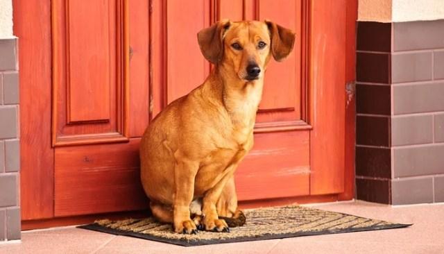 apartment guard dog