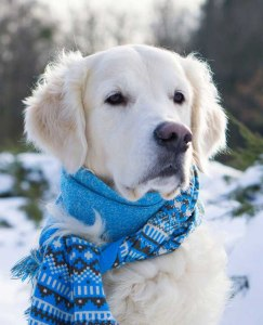 Dog with a scarf in snowy weather