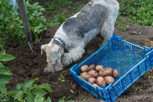 Can I give my dog potatoes from the garden?