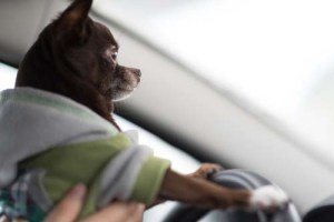 Dogs are prone to motion sickness