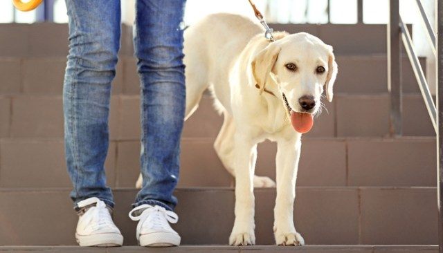 Tips and Tricks for Training a Dog to Use Pet Steps, Stairs or Dog Ramps
