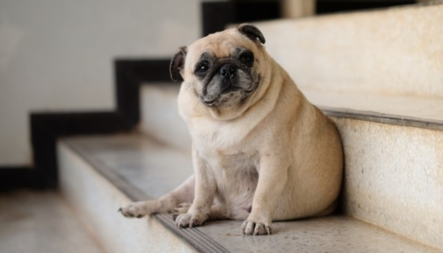 How to teach SENIOR DOGS to use stairs or pet steps