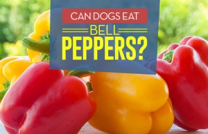 Can Dogs Eat Bell Peppers - 9 Potential Benefits and Side Effects