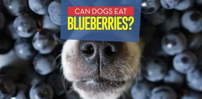 Can Dogs Eat Blueberries - Analysis of Proven Benefits
