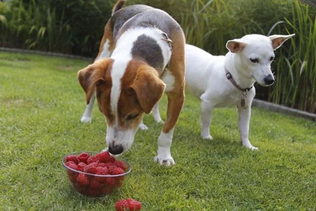 Can I give my dog raspberries?