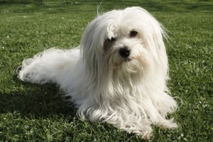 Coton de Tulear Dog Breed Lifespan