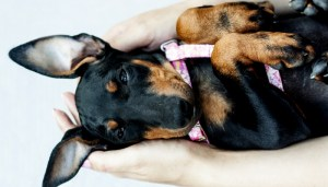 Toy Manchester Terrier Dog Breed Lifespan
