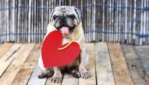 Pug Dog Breed Lifespan