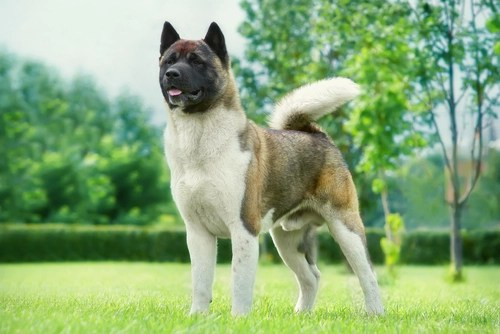 Akita as one of the Most Dangerous Dogs