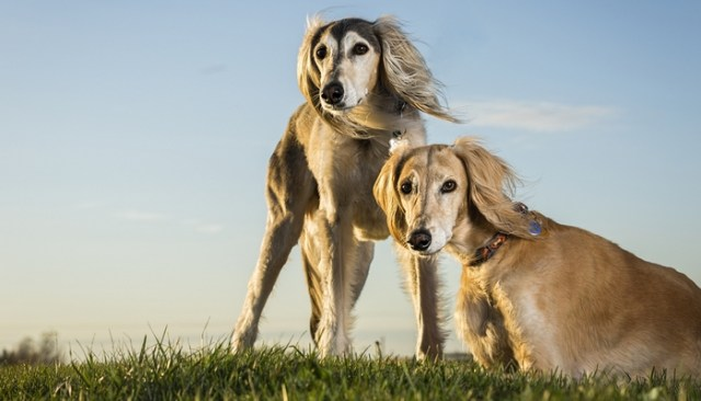 Saluki as the Most Expensive Dog Breeds