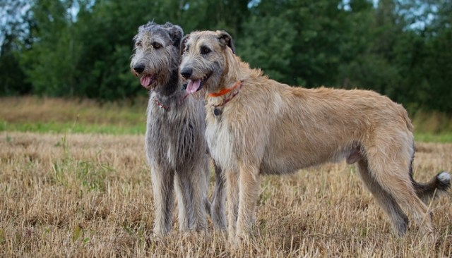 Irish Wolfhound as the Most Expensive Dog Breeds