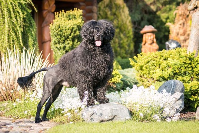 Portuguese Water Dog Most Expensive Dog Breeds