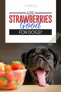 Strawberries for Dogs 101 - Explaining All the Benefits