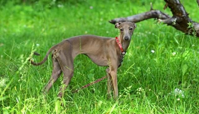 Italian Greyhound as the best toy dog breeds