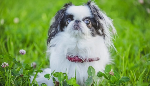 Japanese Chin as the best toy dog breeds