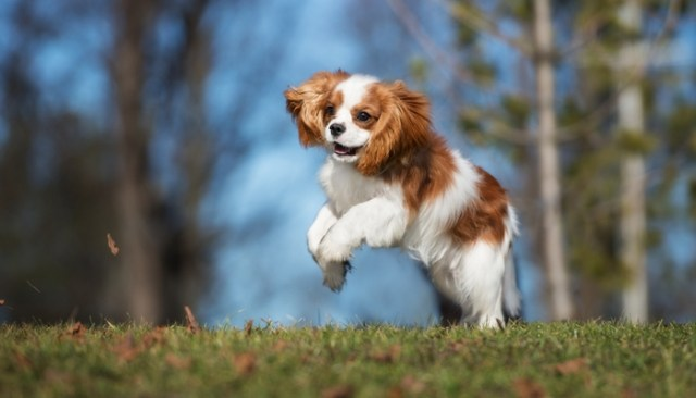 Cavalier King Charles Spaniel as the best toy dog breeds