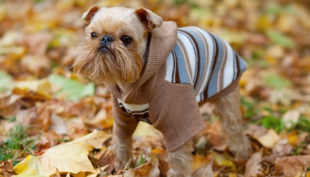 Brussels Griffon as the best toy dog breeds