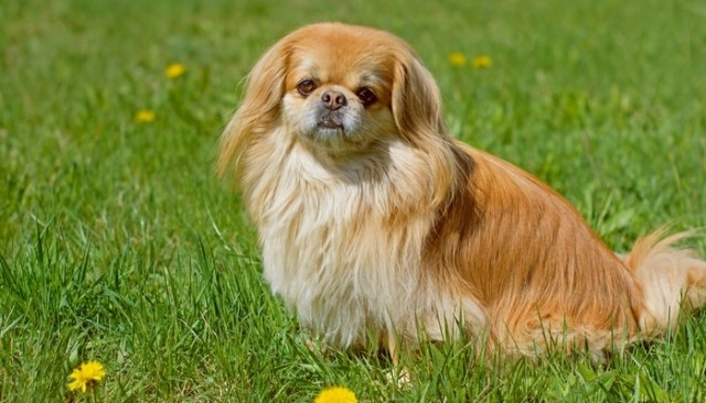 Pekingese as the best toy dog breeds