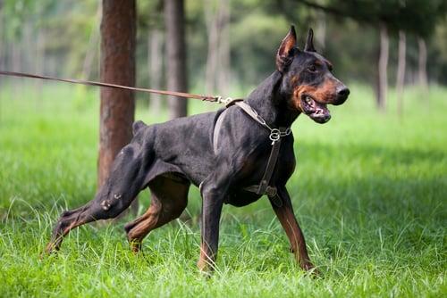 Doberman Pinscher as the most aggressive dog breeds