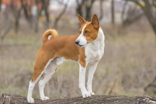 Basenji as the most aggressive dog breeds