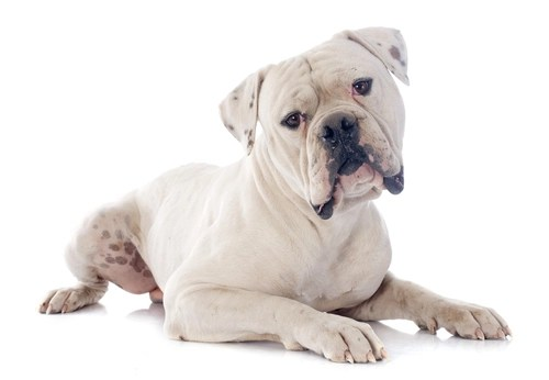 American Bulldog as the most aggressive dog breeds