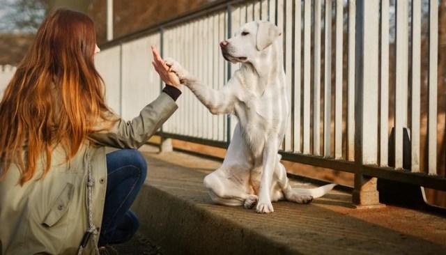 Labrador Retriever as most friendly dog breeds