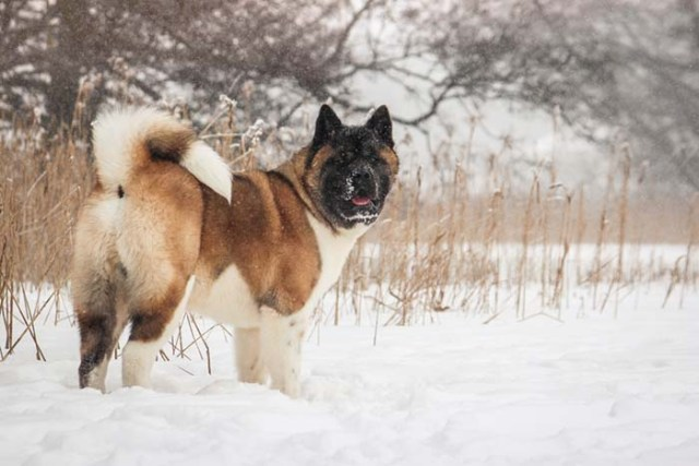 Akita is one of the most popular fighting dog breeds