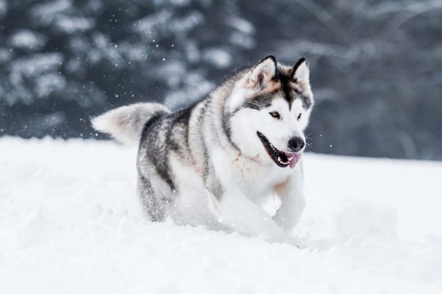 Alaskan Malamute is one of the healthiest dog breeds