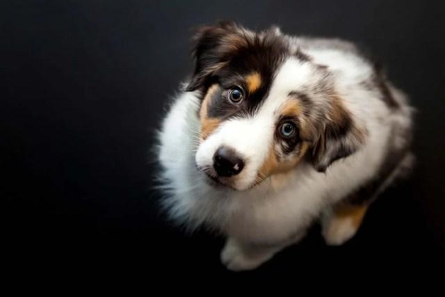 Australian Shepherd is one of the healthiest dog breeds