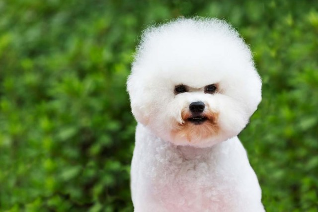 Bichon Frise is one of the healthiest dog breeds