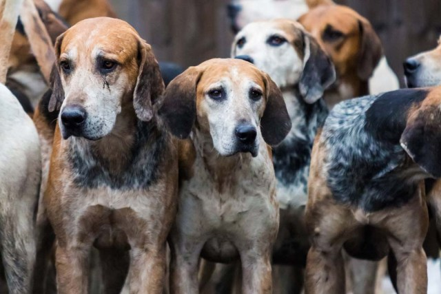 English Foxhound is one of the healthiest dog breeds