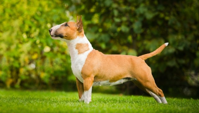 Bull Terrier as the Most Popular Fighting Dog Breeds