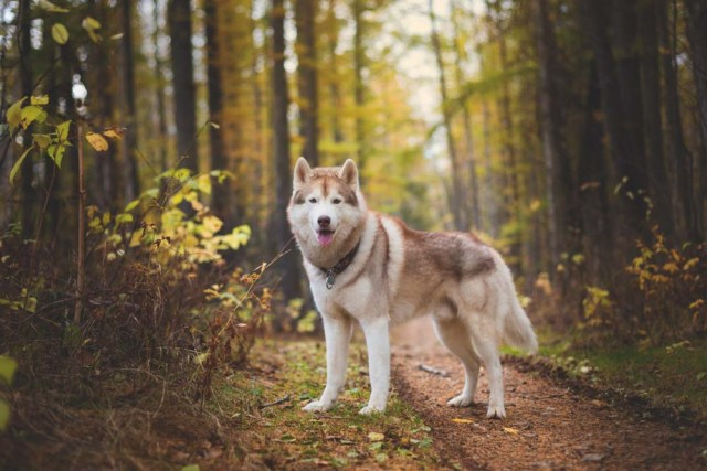 Siberian Husky is one of the healthiest dog breeds