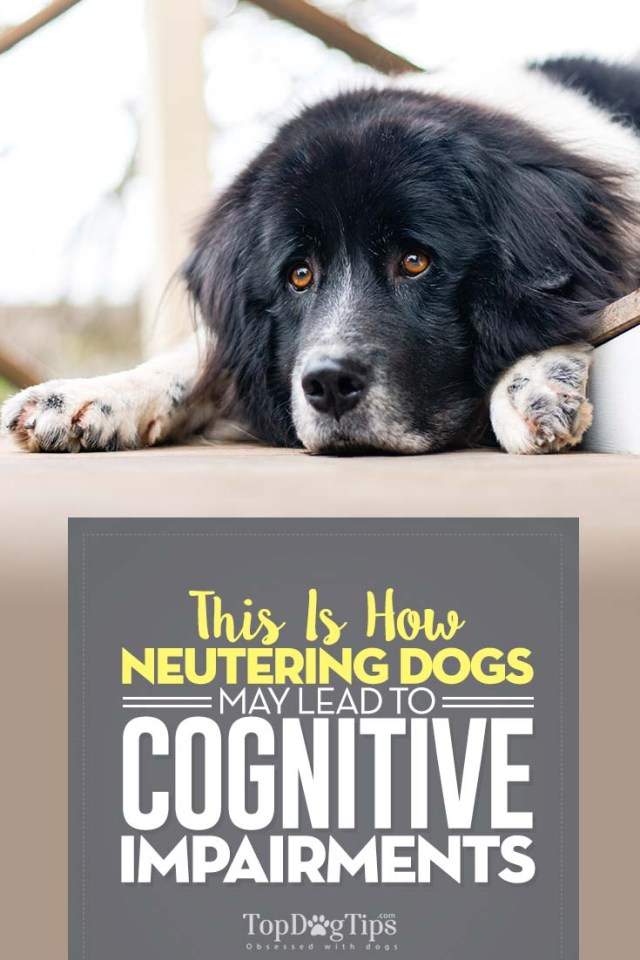 This Is How Neutering Dogs May Lead to Cognitive Impairments