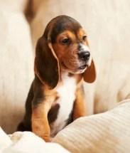 Teacup Beagle