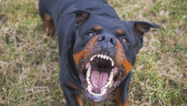 Rottweiler as the fighting dog breeds