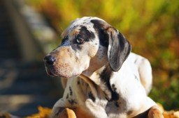 Catahoula Cur Dog
