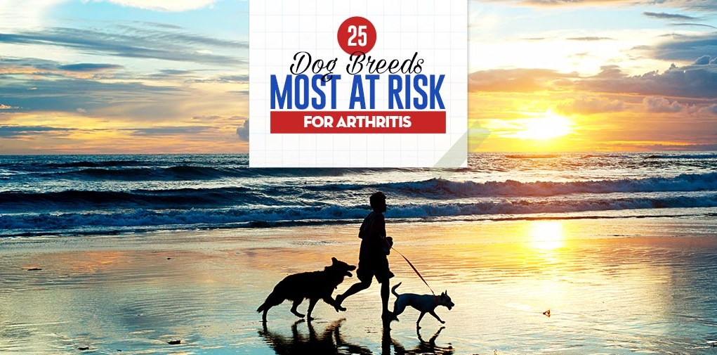 Top 25 Dog Breeds Most at Risk for Arthritis