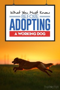 Everything You Must Know Before Adopting a Working Dog