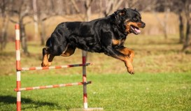 Rottweilers as working dogs