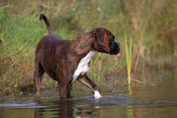 Boxers as working dogs