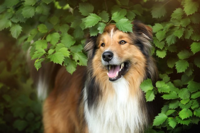 Collie as Worst Breeds for Guard Dogs