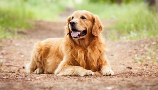 Golden Retriever as Worst Breeds for Guard Dogs