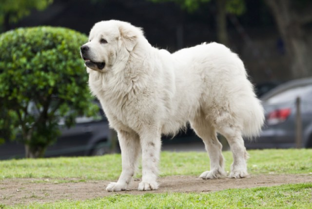 Great Pyrenees as Worst Breeds for Guard Dogs