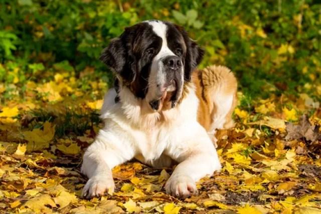 Saint Bernard as Worst Breeds for Guard Dogs