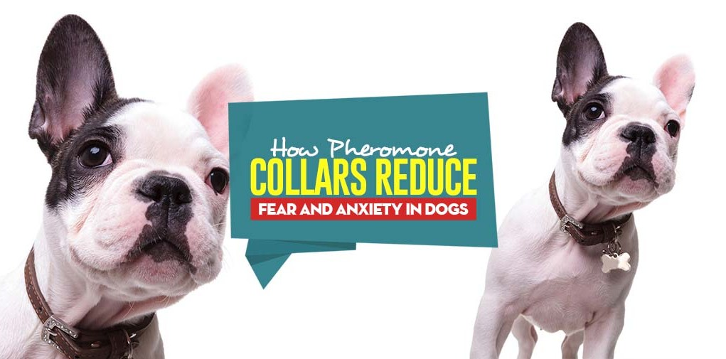 How Do Pheromone Collars Reduce Fear and Anxiety in Dogs