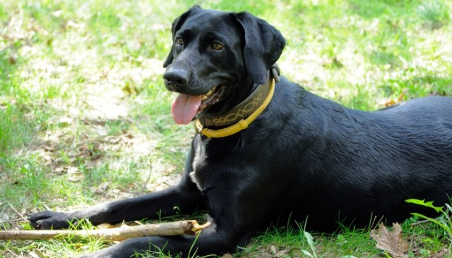 How Pheromone Collars Reduce Fear and Anxiety in Dogs