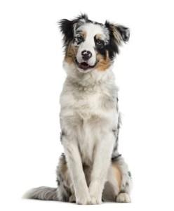 Australian Shepherd Manly Dog Breeds