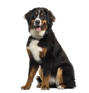 Bernese Mountain Dog Manly Dog Breeds