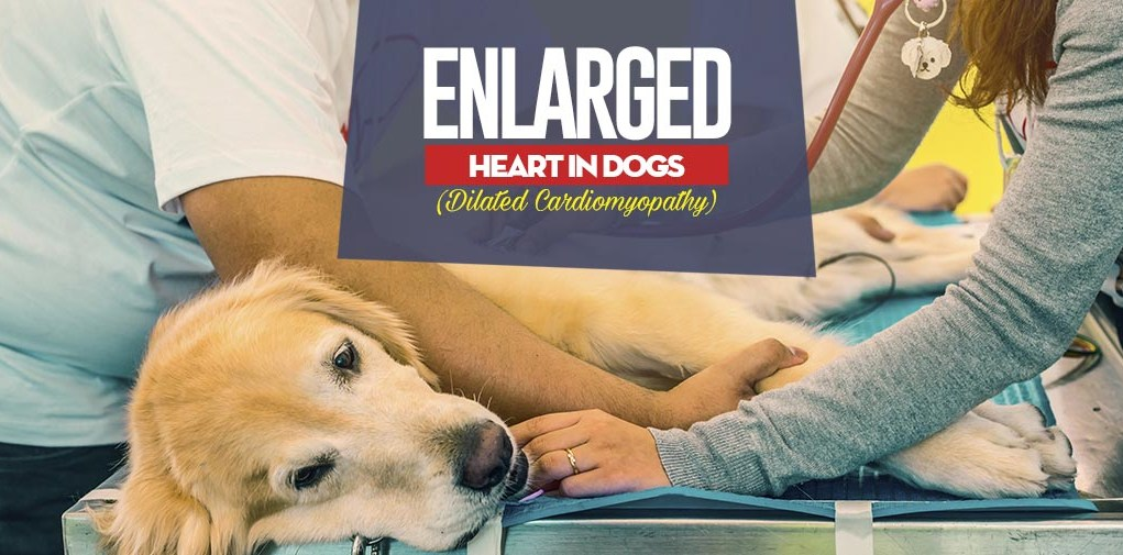 What Is Enlarged Heart in Dogs (Dilated Cardiomyopathy)